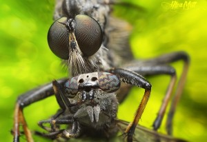 robberfly3